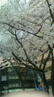 サンシャイン前の日の出公園の桜-160327.jpg