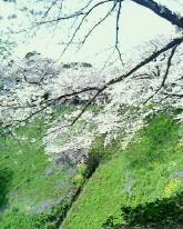 千鳥ヶ淵-160406-1.jpg