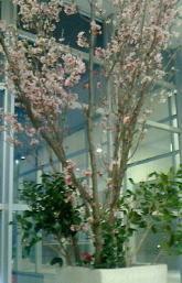 陽光桜-160319.1-1.jpg