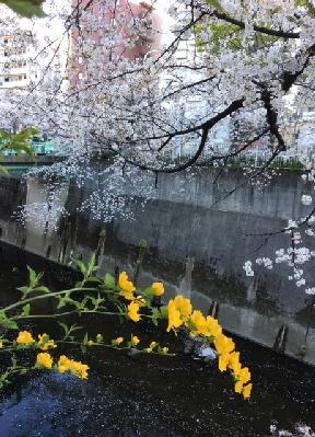 面影橋:山吹と桜-2019-1.jpg