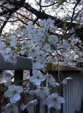 面影橋:満開の桜-2019-2.jpg