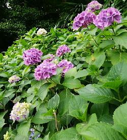 飛鳥山「紫陽花の小径」-180530-4-.jpg