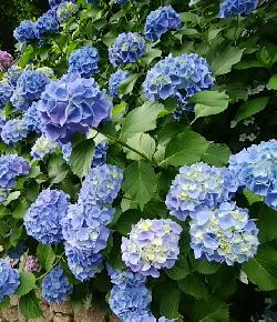 飛鳥山「紫陽花の小径」-180530-5-.jpg